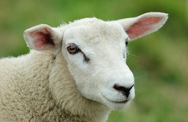 Baa-rmy! Sheep take on Lear